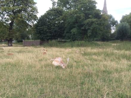 Clissold Park'taki geyiklerden birini uyuklarken yakaladık... (Fotoğraf: Özgür Yüzak)